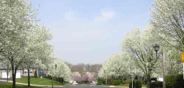 The Spring Thaw - Bradford Pear Trees