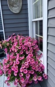 Rainbow Beautiful Color Deck Petunias