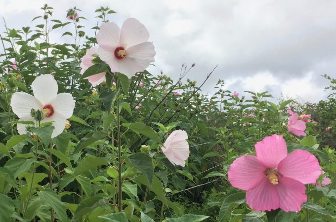 Swamp Rose Mallow – Hibiscus moscheutos