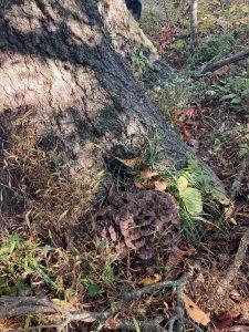 Grifola Frondosa 10-04-20 04