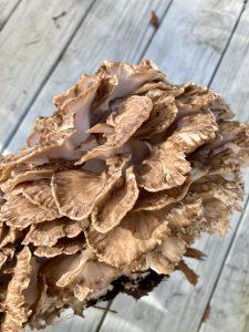 Grifola Frondosa 10-04-20 08