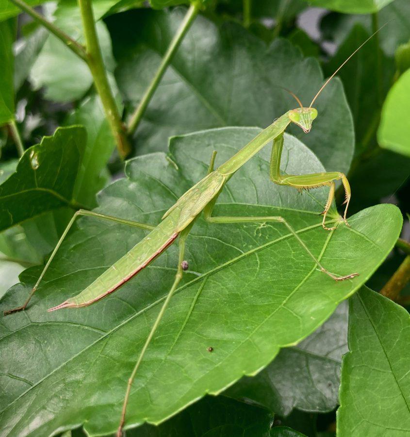 Praying Mantis 09-01-21 01 (1)