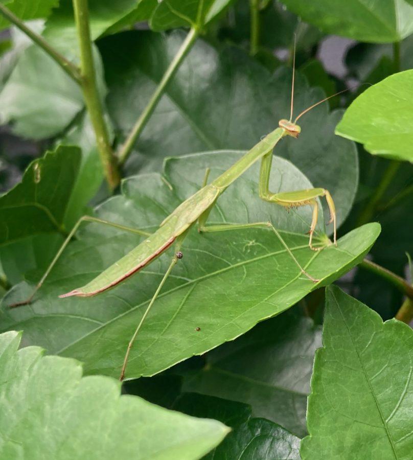 Praying Mantis 09-01-21 01